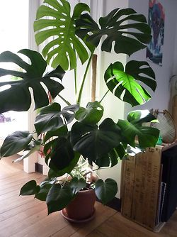 Philodendron monstera - Large indoor plants as key decor pieces for a refreshing uplifting feel. #largeindoorhouseplants