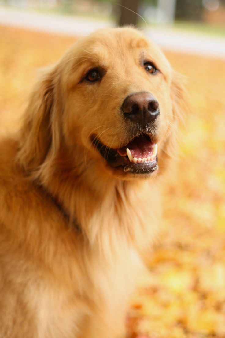 Golden Retrievers are one of my favorite kinds of dogs <3 I love their loyalty