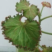 Bildergebnis für begonia maculata