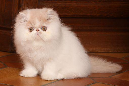 Kosmetyki dla kotów perskich