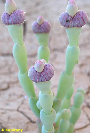Jacksonia scoparia - Australian succulents