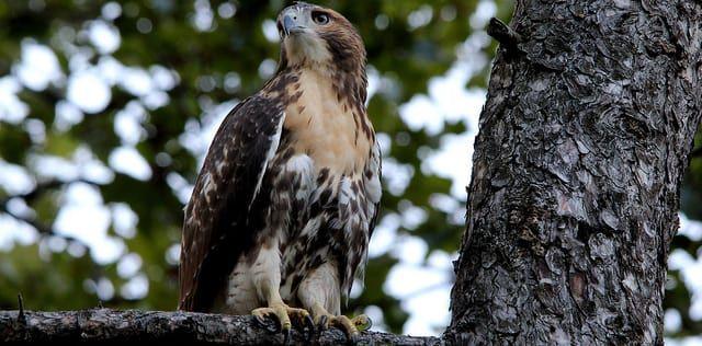 Pale Male's baby hawk