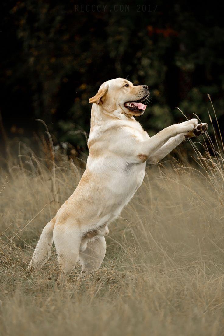 Labrador Retriever By Kseniya Ressy Labradorfunny Rottweiler Puppies Labrador Retriever Hd Dog Photos