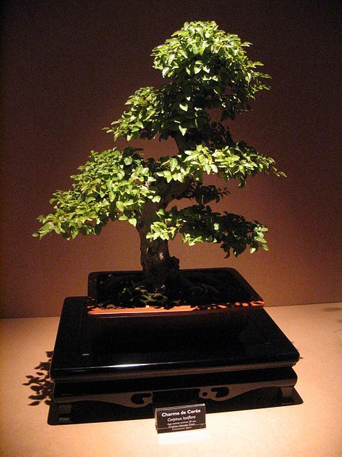 Bonsai Wikipedia Bonsai Bonsai Art Indoor Bonsai