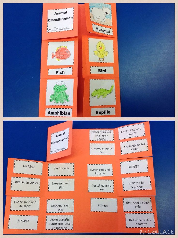 We made this animal classification foldable while studying the different types of animal classes.  A fun way to get the students involved in their learning!  Covers mammals, reptiles, amphibians, birds, and fish!