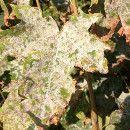 Huerto Ecológico: prevenir y combatir enfermedades por hongos como mildiu, oídio o roya ecoagricultor.com
