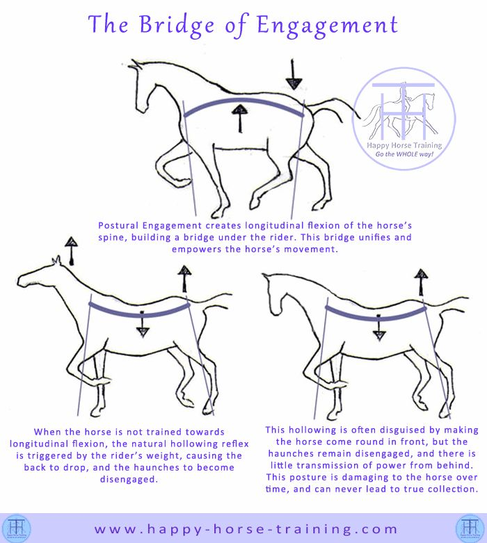 The bridge of engagement unifies the horse's body in movement, and allows continuous and amplified transmission of the power generated by the haunches.