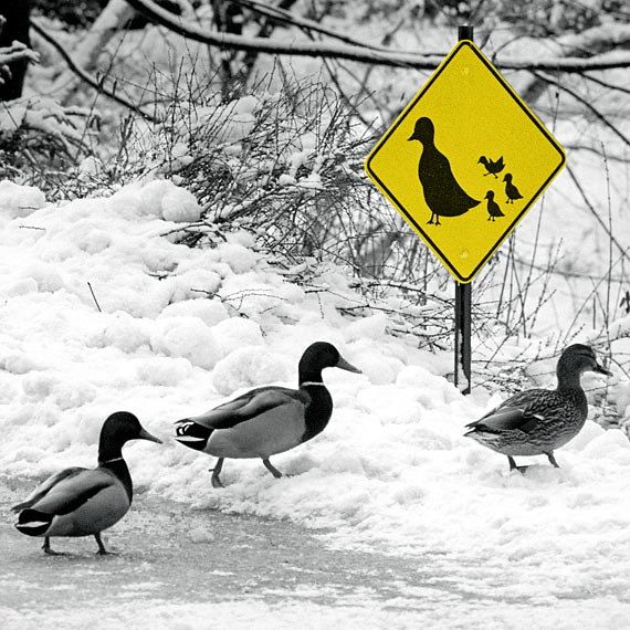 Ducks Crossing Humor Art Print Duck Art by justamoment on Etsy, $25.00