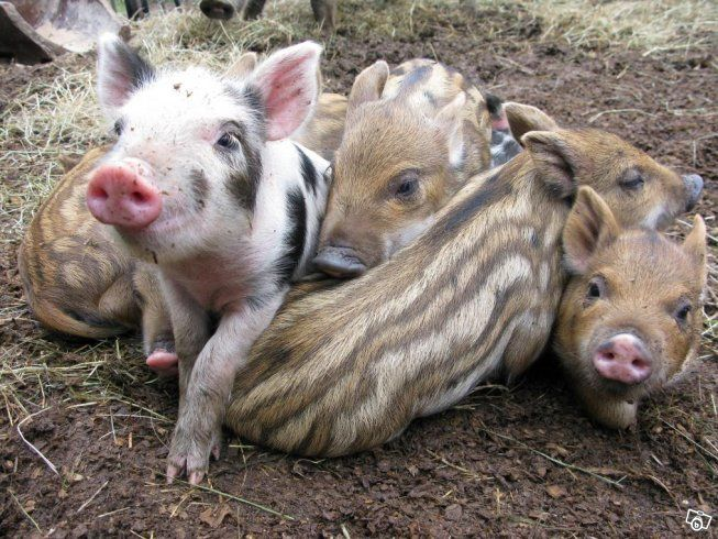 Linderöd/vildsvin griskultingar Piglets