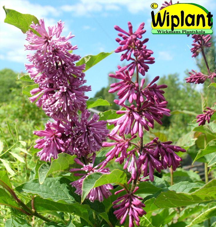 Syringa 'Veera'. FinE-sort. Finns både som buske och som stamsyren. Rödlila blommor. Höjd: 3-4 m.