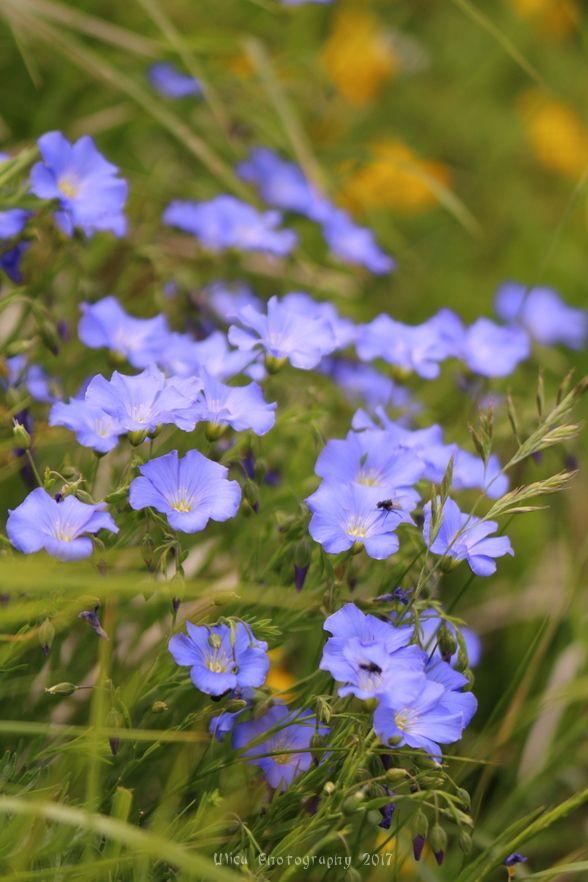 Fiori di Linum alpinum (lino alpino)...