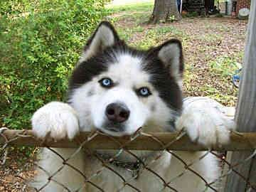 Siberian Huskies......I am powerless to these beautiful (stubborn, smart, P.I.T.A) animals!