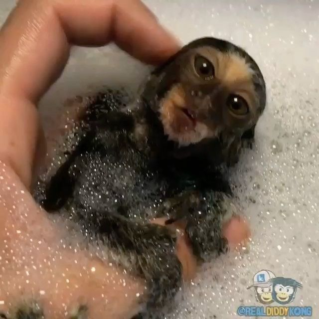 "Animals Pets Wildlife (@animaladdicts) on Instagram: ""Follow the cutest tiny monkey @realdiddykong 😍🙊"""