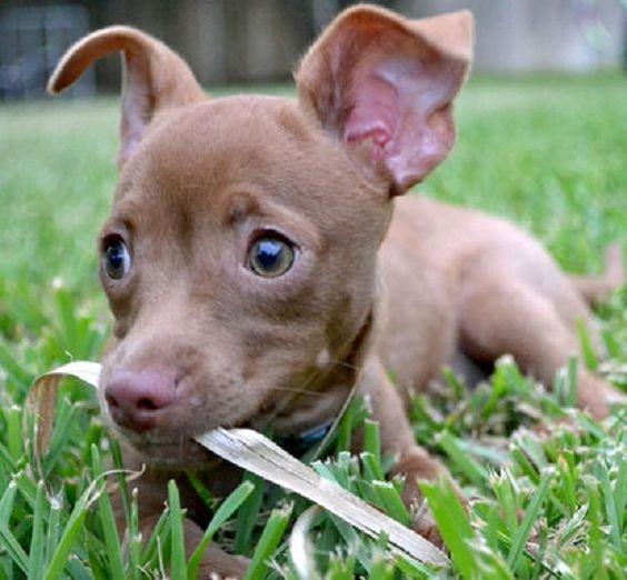 Dackel cairn terrier mix
