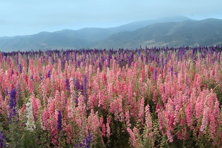 Flower Fields in Lompoc Valley CA--- I want to see this. I love flower gardens.