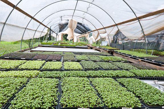 Microgreens In Tunnel Greens Greenhouse Farming