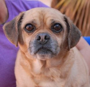 Bobby~ <3 Endearing older boy, Puggle (Pug & Beagle mix), neutered, 10 years. Bobby's eyes still reveal his pain and confusion from being left behind in an abandoned house. A neighbor discovered he was inside and came to his rescue. He is good with dogs and reportedly housetrained and compatible with mature kids. Please help find Bobby a stable, responsible, loving forever home. Nevada Society for the Prevention of Cruelty to Animals, Inc. (Nevada SPCA) Las Vegas, NV 89118