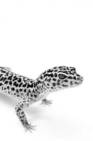 Pretty leopard gecko!