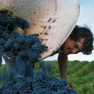 Les vendanges dans le vignoble d'Anjou Val de Loire (Loire Valley wine) #LoireVendanges