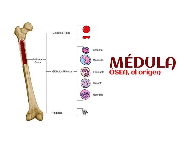 Las células sanguíneas se producen en la MÉDULA ÓSEA, que se ubica en el centro de los huesos, según The University of Chicago Medicine. Fuente: salud180.com #CuriosidadesBonin #EsGuatemaltecoCaeBien