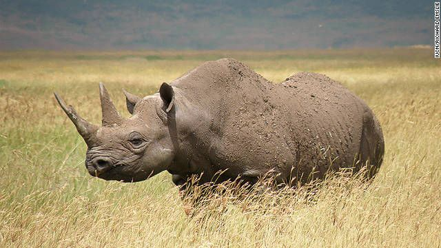 Western Black Rhino declared extinct: Poaching and lack of conservation have made a subspecies of Africas black rhino (pictured) extinct.