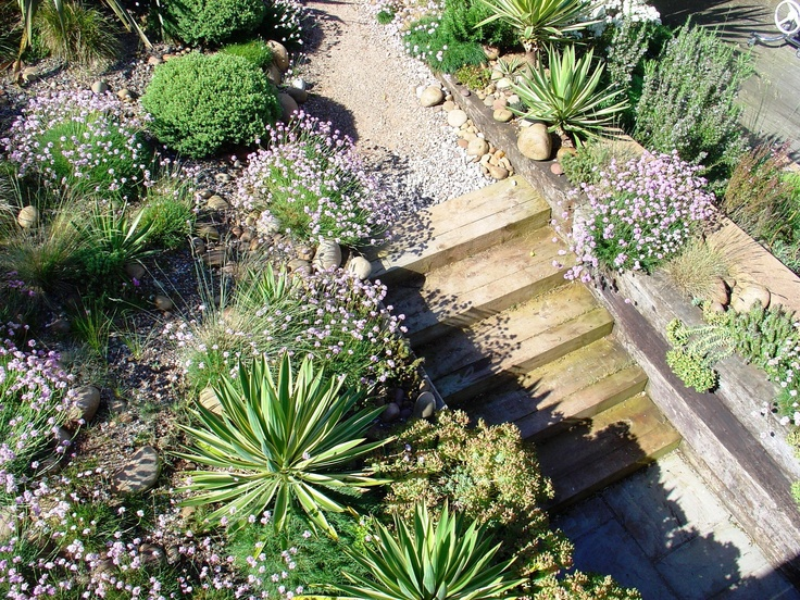 Banks planted with large drifts of Sea Pinks contrast with clumps of spiky Yucca gloriosa Variegata at The Lookout, Lympstone, Devon. Open on 26th & 28th June 2015 for the NGS.   www.ngs.org.uk