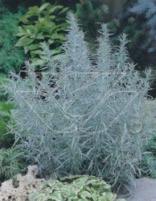 Artemisia lud. 'Silver Queen'
