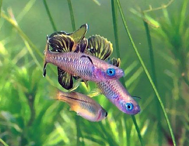 The Blue Eyed Tenellus Rainbowfish Can Get As Big As 5 5 Centimeters Which Is Around 2 Inches Max The Body Tropical Freshwater Fish Aquarium Fish Betta Fish