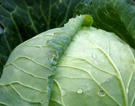 Odborníci z celého světa se shodují na tom, že na bolavé a zanícené klouby platí zelné obklady. Hlávkové zelí spadá do čeledi brukvovité zeleniny.