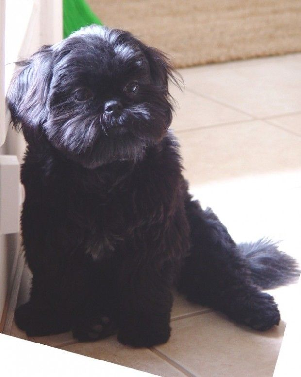 Black Shih Tzu Hairstyle In 2020 Shih Tzu Puppy Black Shih Tzu Shih Tzu Dog
