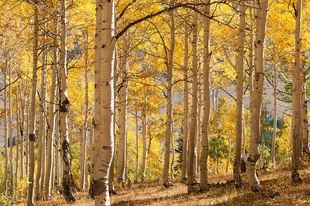 Nebo Loop aspens, near Nephi, Utah by Sam Scholes via Flickr