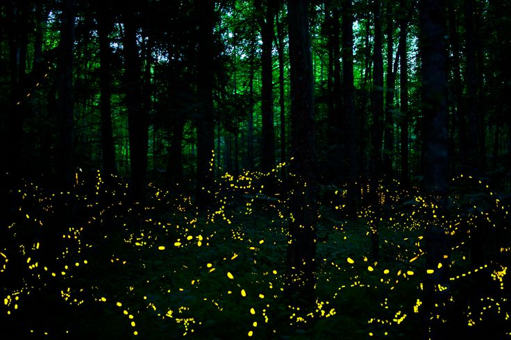 Great Smokey Mountains: Synchronous Fireflies (Photinus Carolinus) -Light show two weeks in June: Exist only in southeast Asia and small pockets of the Smokies- (DONE) Seen here at our home: I call them Twinkleflies