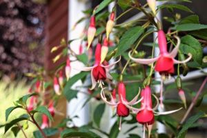 The exotic-looking fuschia plants make gorgeous container flowers. The stems can be staked like these, or allow them to gracefully drape over the edges of the pot. - www.thehandymansdaughter.com