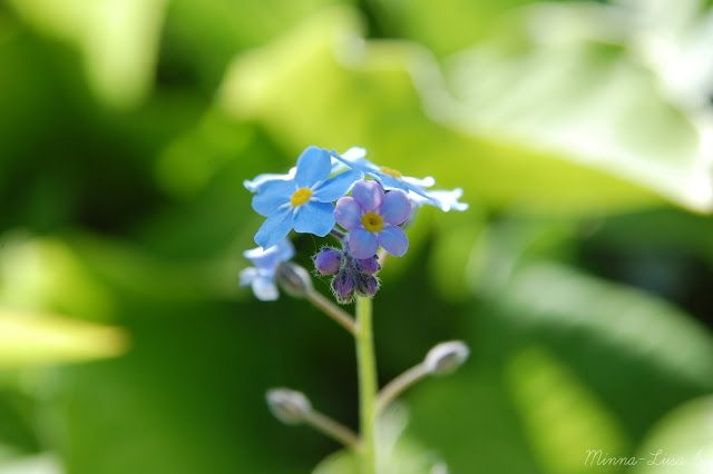 Forget-me-not.