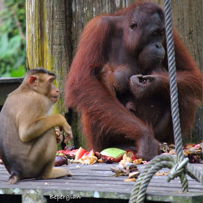 Mum orang-utan and her baby with a macaque monkey