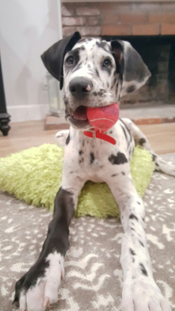 1152 best great dane images on Pinterest | Animals, Big dogs and ...