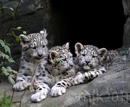 Snow Leopard in Action   Snow Leopard Cubs   Flickr - Photo Sharing!