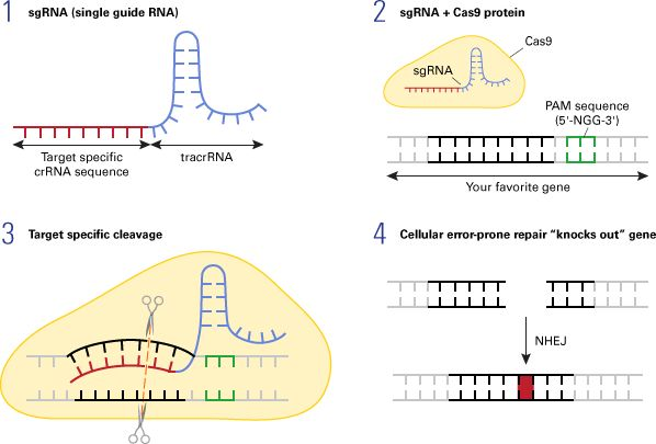 CRISPR/Cas9-mediated gene disruption