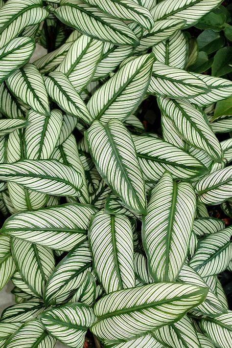 MARANTA-RISCADA (Calathea Ornata) herbácea rizomatosa | altura: 50 cm - 1,40 m | flores: sinflorescências de brácteas amarelas e flores brancas | floração: ? | luminosidade: meia-sombra | ciclo de vida: perene | nativa