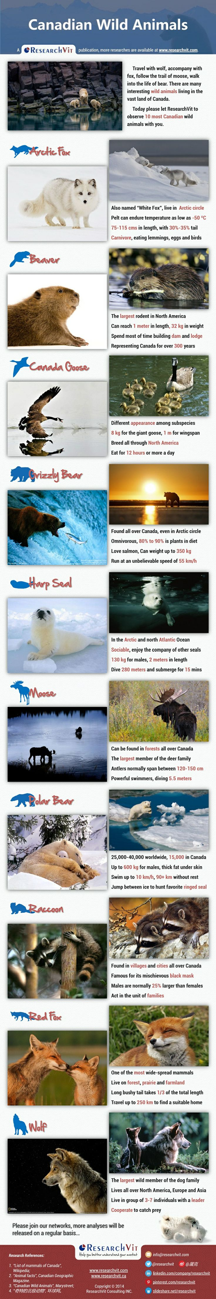 Canadian Wild Animals: Travel with wolf, accompany with fox, follow the trail of moose, walk into the life of bear. There are many interesting wild animals living in the vast land of Canada. Today please let ResearchVit to observe 10 most Canadian wild animals with you.