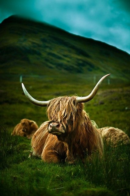 Highland Cow by lucylaine