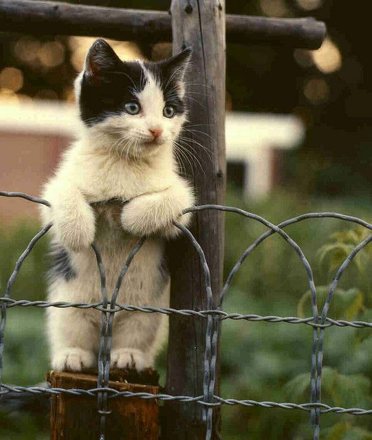 Cat on a wire fence (spying on the neighbors?)...: Fence, Kitty Cats, Animals, Meow, Pets, Kitty Kitty, Adorable, Kitties, Cute Kittens