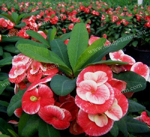 "Euphorbia Milii nams's ""Sonia"", View Euphorbia Milii (Crown of ..."