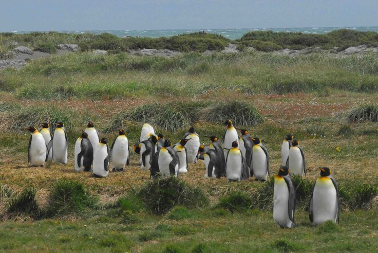 King Penguins, Tierra del Fuego, Chile.  Photo: Dr. Charles A. Munn. Luxury Amazon & South American Wildlife Tours.