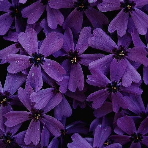 .Beautiful Flower, I Love Purple, Deep Purple, Purple Colors, Purple Flowers, Purple Passion, Violets, So Pretty, Purple Blossoms