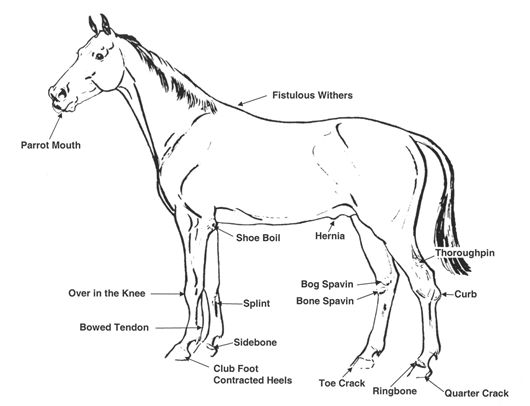 17 best images about horse body conformation on pinterest
