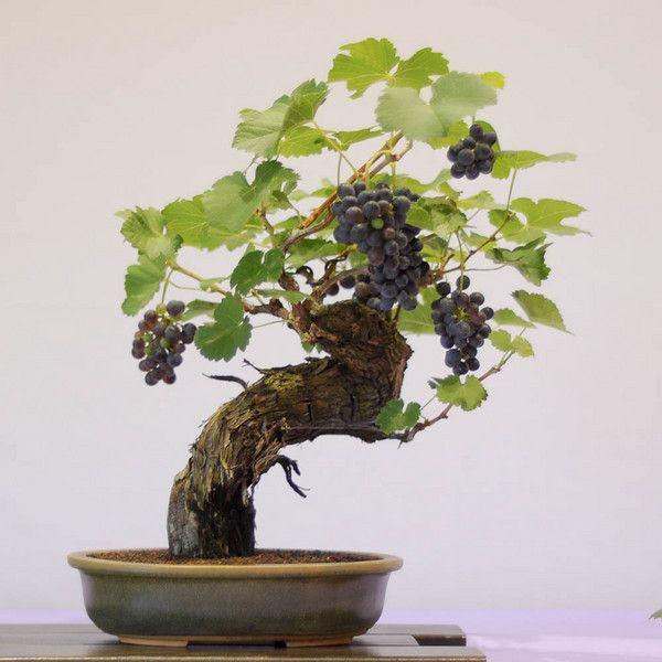 JPB:Bonsai Collection4 | Grape