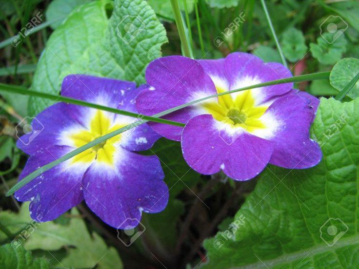 Violet primrose