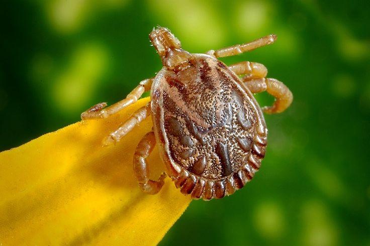 Borelioza – przenosi ją 1/4 samic kleszczy