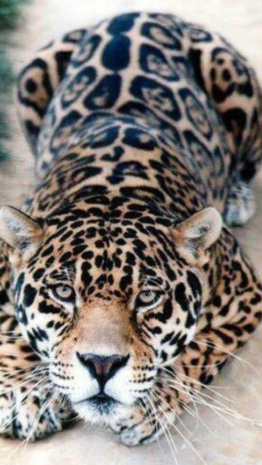 Beautiful Leopard!                                                                                                                                                                                 More